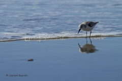 Oh mon beau miroir ! Bécasseau sanderling