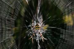 Araignée filante