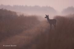 A l'écoute du brame - Biche à l'écoute sur une allée dans la brume du petit matin. - Laurent Bourdin - photographe animalier et de nature