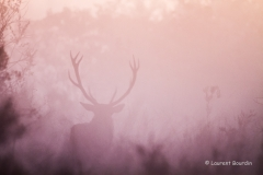 Grand cerf dans la brume -Le brame du cerf - Laurent Bourdin - photographe animalier et de nature