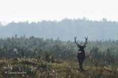 Le départ - Le brame du cerf- Laurent Bourdin - photographe animalier et de nature